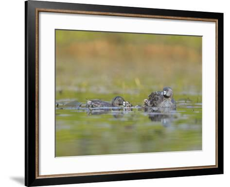 Washington, Pied-Bill Grebe Adult Brings Food Item to Newly-Hatched Chicks-Gary Luhm-Framed Art Print