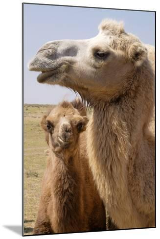 Mongolia, Lake Tolbo, Bactrian Camels-Emily Wilson-Mounted Photographic Print