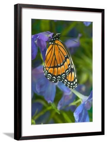 Viceroy Butterfly That Mimics the Monarch Butterfly-Darrell Gulin-Framed Art Print