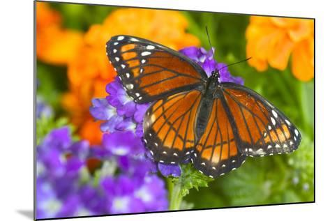 Viceroy Butterfly That Mimics the Monarch Butterfly-Darrell Gulin-Mounted Photographic Print