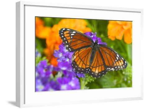 Viceroy Butterfly That Mimics the Monarch Butterfly-Darrell Gulin-Framed Art Print