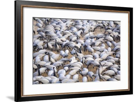 India, Rajasthan, Khichan Village, Demoiselle Cranes-Emily Wilson-Framed Art Print