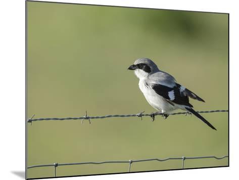 Loggerhead Shrike Adult Looking for Food,Celery Fields, Sarasota, Florida-Maresa Pryor-Mounted Photographic Print