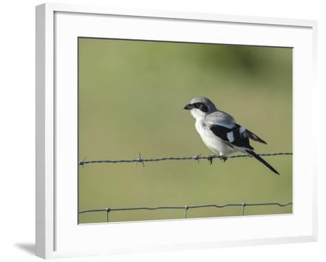 Loggerhead Shrike Adult Looking for Food,Celery Fields, Sarasota, Florida-Maresa Pryor-Framed Art Print