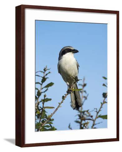 Loggerhead Shrike on Lookout after Feeding Young, Celery Fields, Sarasota, Florida-Maresa Pryor-Framed Art Print