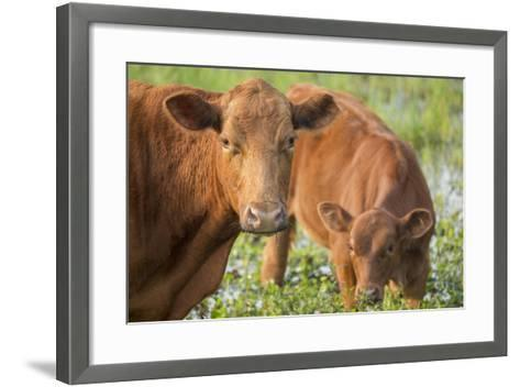 Red Angus Cow and Calf Drinking Water from Pond, Florida-Maresa Pryor-Framed Art Print