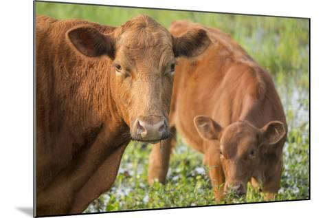 Red Angus Cow and Calf Drinking Water from Pond, Florida-Maresa Pryor-Mounted Photographic Print