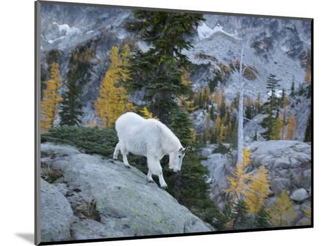 Washington, Adult Mountain Goat Steps Down a Rock Face in the Alpine Lakes Wilderness-Gary Luhm-Mounted Photographic Print