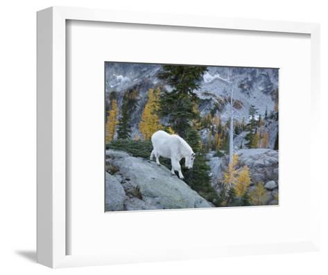Washington, Adult Mountain Goat Steps Down a Rock Face in the Alpine Lakes Wilderness-Gary Luhm-Framed Art Print