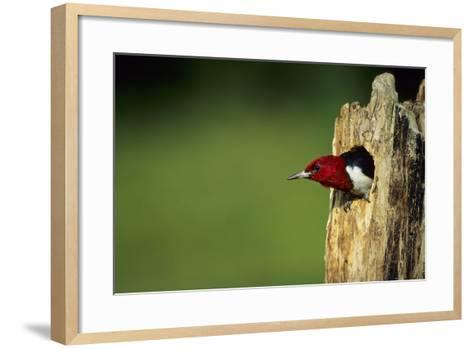 Red-Headed Woodpecker in Nest Cavity, Illinois-Richard and Susan Day-Framed Art Print