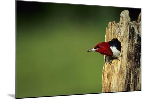Red-Headed Woodpecker in Nest Cavity, Illinois-Richard and Susan Day-Mounted Photographic Print