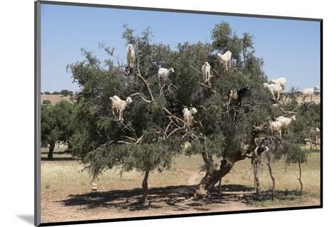 Morocco, Road to Essaouira, Goats Climbing in Argan Trees-Emily Wilson-Mounted Photographic Print