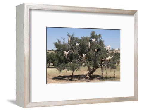 Morocco, Road to Essaouira, Goats Climbing in Argan Trees-Emily Wilson-Framed Art Print