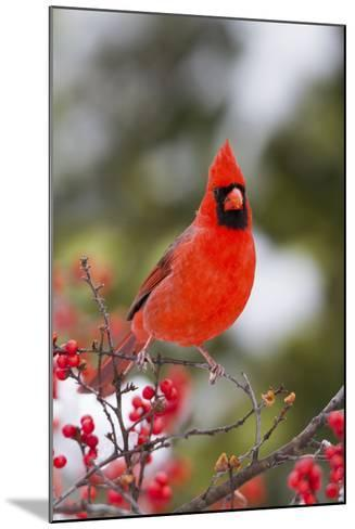 Northern Cardinal Male in Common Winterberry Bush in Winter, Marion County, Illinois-Richard and Susan Day-Mounted Photographic Print