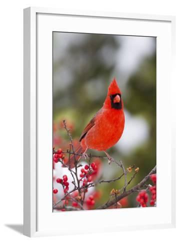Northern Cardinal Male in Common Winterberry Bush in Winter, Marion County, Illinois-Richard and Susan Day-Framed Art Print