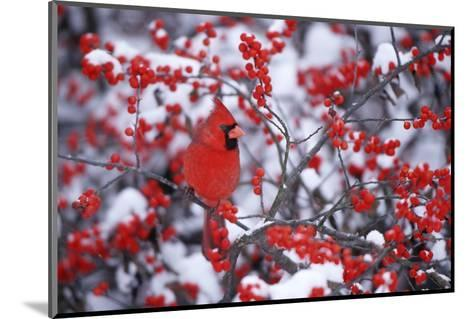 Northern Cardinal Male in Common Winterberry in Winter, Marion, Il-Richard and Susan Day-Mounted Photographic Print