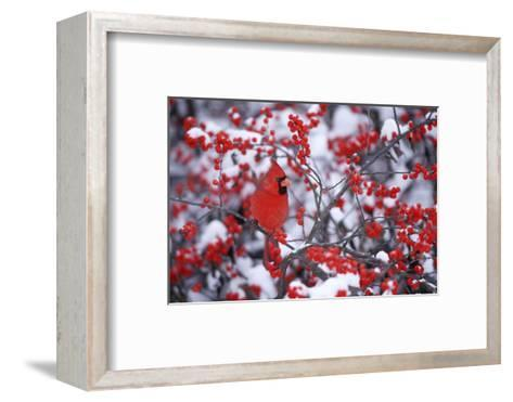Northern Cardinal Male in Common Winterberry in Winter, Marion, Il-Richard and Susan Day-Framed Art Print