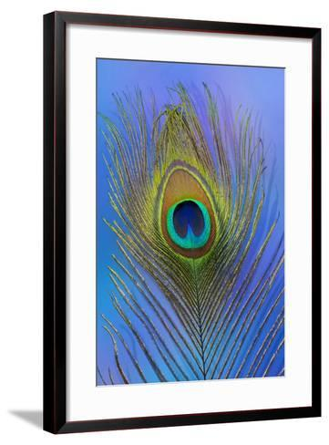 Male Peacock Display Tail Feathers-Darrell Gulin-Framed Art Print