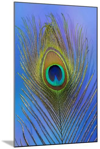 Male Peacock Display Tail Feathers-Darrell Gulin-Mounted Photographic Print