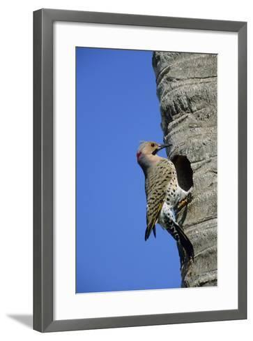 Northern Flicker Male at Nest Cavity, Florida-Richard and Susan Day-Framed Art Print