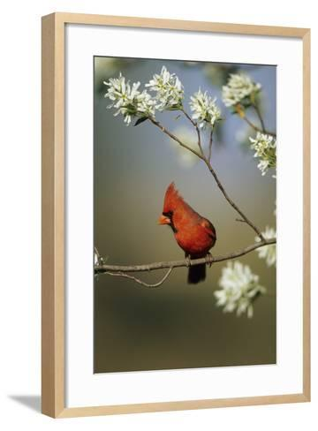 Northern Cardinal Male on Flowering Serviceberry Tree, Marion, Il-Richard and Susan Day-Framed Art Print