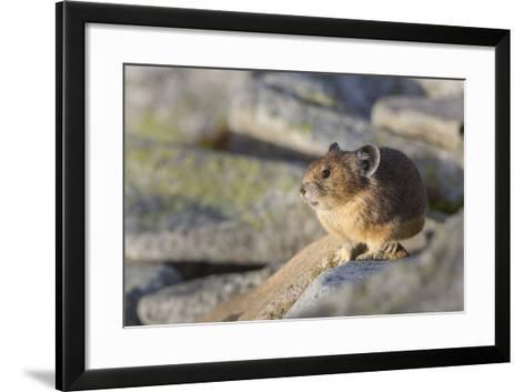 Pika, a Non-Hibernating Mammal Closely Related to Rabbits-Gary Luhm-Framed Art Print