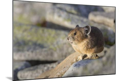 Pika, a Non-Hibernating Mammal Closely Related to Rabbits-Gary Luhm-Mounted Photographic Print