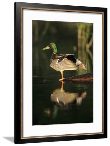 Mallard Male in Wetland Stretching His Legs, Marion County, Illinois-Richard and Susan Day-Framed Art Print