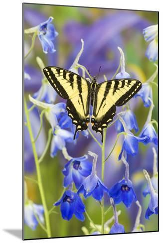 Male Western Tiger Swallowtail Butterfly-Darrell Gulin-Mounted Photographic Print