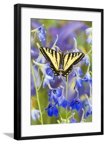 Male Western Tiger Swallowtail Butterfly-Darrell Gulin-Framed Art Print