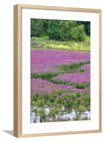 USA, Oregon, Oaks Bottom. Purple Loosestrife Flowers in Marsh-Jaynes Gallery-Framed Art Print