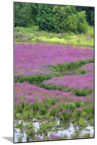 USA, Oregon, Oaks Bottom. Purple Loosestrife Flowers in Marsh-Jaynes Gallery-Mounted Photographic Print
