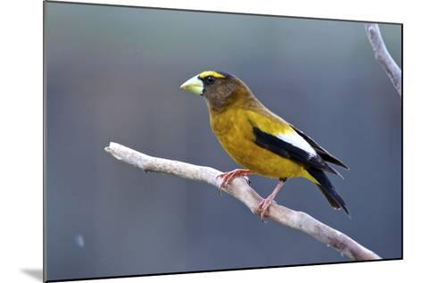 The Evening Grosbeak Is a Passerine Bird in the Finch Family Fringillidae-Richard Wright-Mounted Photographic Print