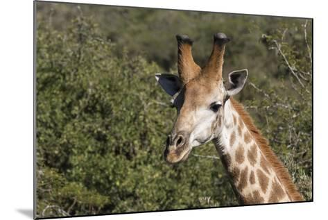 South Africa, Durban, Tala Game Reserve. Giraffe, Head Detail, Male-Cindy Miller Hopkins-Mounted Photographic Print