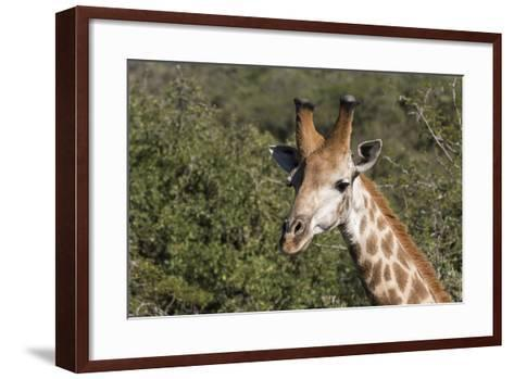 South Africa, Durban, Tala Game Reserve. Giraffe, Head Detail, Male-Cindy Miller Hopkins-Framed Art Print