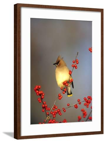 Cedar Waxwing in Common Winterberry, Marion, Il-Richard and Susan Day-Framed Art Print