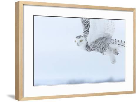 Canada, Ontario, Barrie. Close-Up of Snowy Owl in Flight-Jaynes Gallery-Framed Art Print