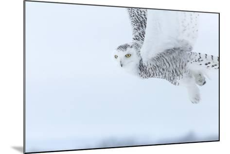 Canada, Ontario, Barrie. Close-Up of Snowy Owl in Flight-Jaynes Gallery-Mounted Photographic Print