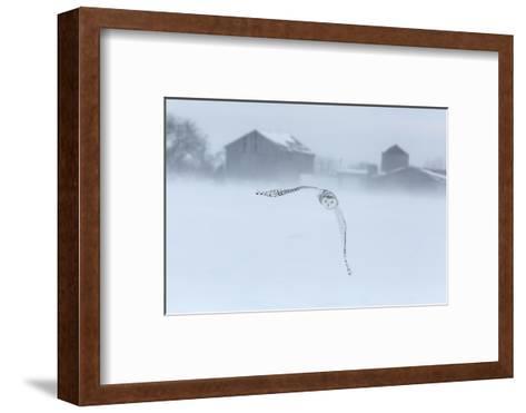 Canada, Ontario, Barrie. Snowy Owl in Flight-Jaynes Gallery-Framed Art Print