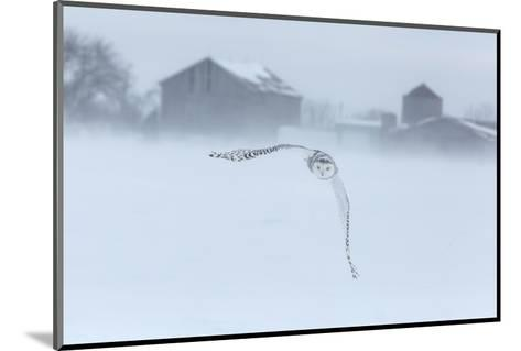 Canada, Ontario, Barrie. Snowy Owl in Flight-Jaynes Gallery-Mounted Photographic Print