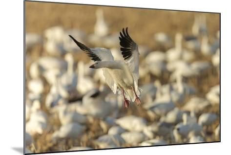 Chen Caerulescens, Bosque Del Apache National Wildlife Refuge, New Mexico-Maresa Pryor-Mounted Photographic Print