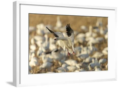 Chen Caerulescens, Bosque Del Apache National Wildlife Refuge, New Mexico-Maresa Pryor-Framed Art Print