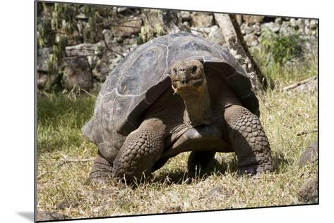 Giant Tortoise in Highlands of Floreana Island, Galapagos Islands-Diane Johnson-Mounted Photographic Print