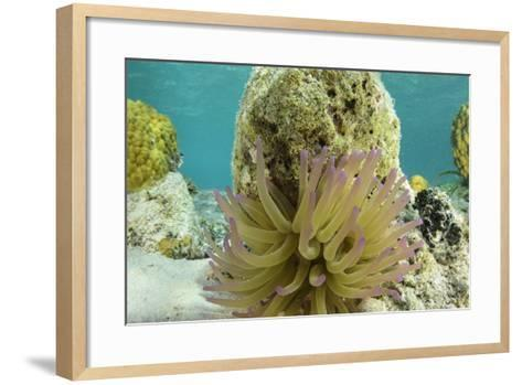 Giant Anemone, Lighthouse Reef, Atoll, Belize-Pete Oxford-Framed Art Print