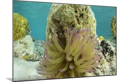 Giant Anemone, Lighthouse Reef, Atoll, Belize-Pete Oxford-Mounted Photographic Print