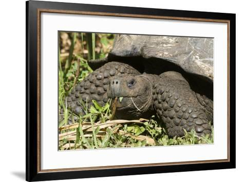 Giant Tortoise, Highlands of Santa Cruz Island, Galapagos Islands-Diane Johnson-Framed Art Print