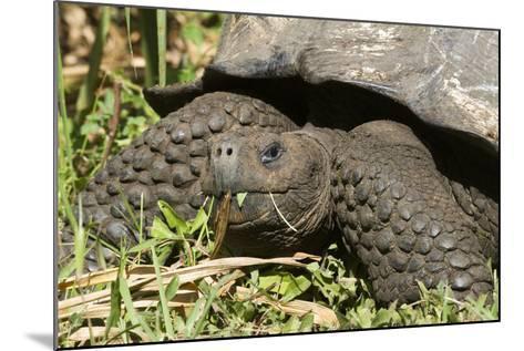Giant Tortoise, Highlands of Santa Cruz Island, Galapagos Islands-Diane Johnson-Mounted Photographic Print