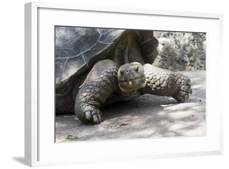 Giant Tortoise in Highlands of Floreana Island, Galapagos Islands-Diane Johnson-Framed Art Print