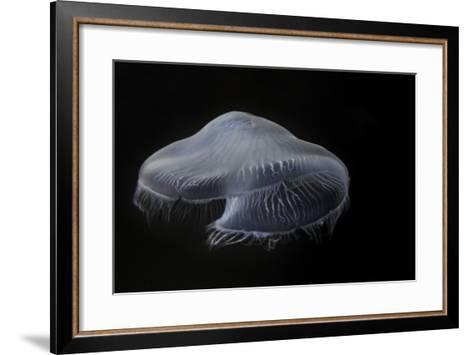 USA, Tennessee, Chattanooga. Moon Jellyfish in Aquarium-Jaynes Gallery-Framed Art Print