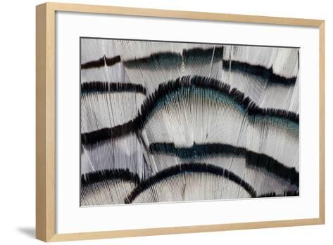 Silver Pheasant Fanned Out Feathers-Darrell Gulin-Framed Art Print